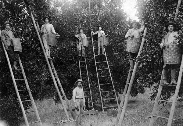 Florida orange pickers in a grove, 1910
