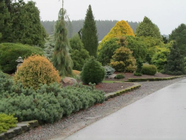 231 best EVERGREEN SHRUBS images on Pinterest Evergreen shrubs