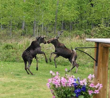 An unusual sighting of two moose playing.
