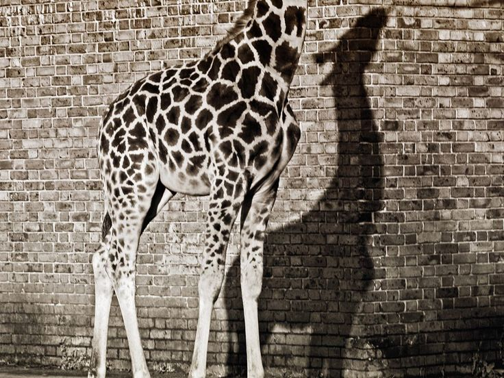 Giraffe, London Zoo. Photograph by Faisal Almalki,Stands Tall, White Animal, London Zoos, Animal Photography, Black And White, National Geographic, Shadows Photography, Animal Photos, Giraffes