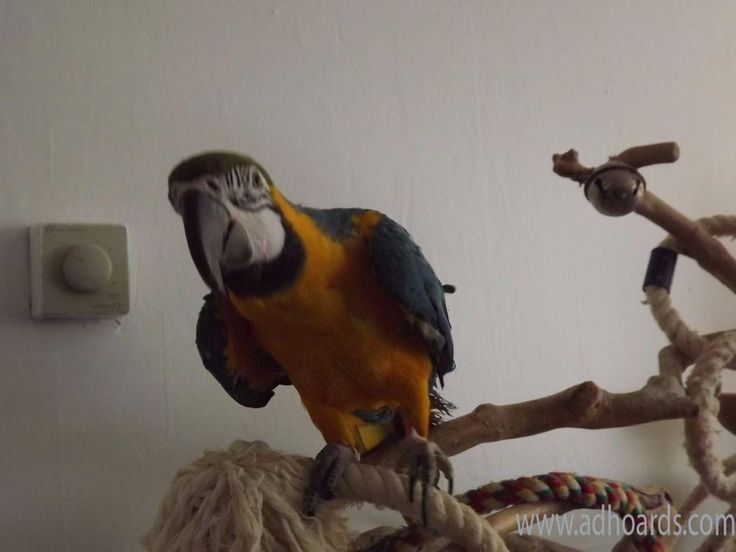 Well Trained Macaw Parrots For Sale - San Francisco Bay Area Adhoards Classified