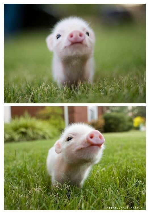 Considering adoption-teacup pigs need happy homes too