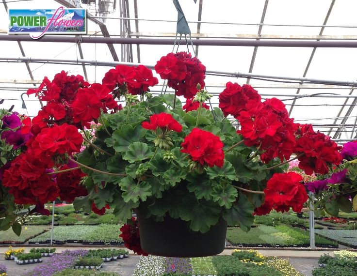 Hanging Flower Baskets Seattle : Geranium calliope dark red hot hanging baskets