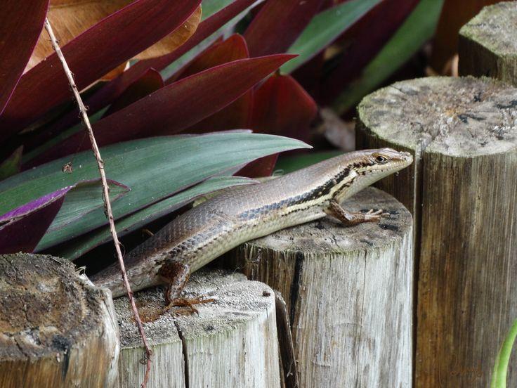 Reptile found in Sodwana Bay
