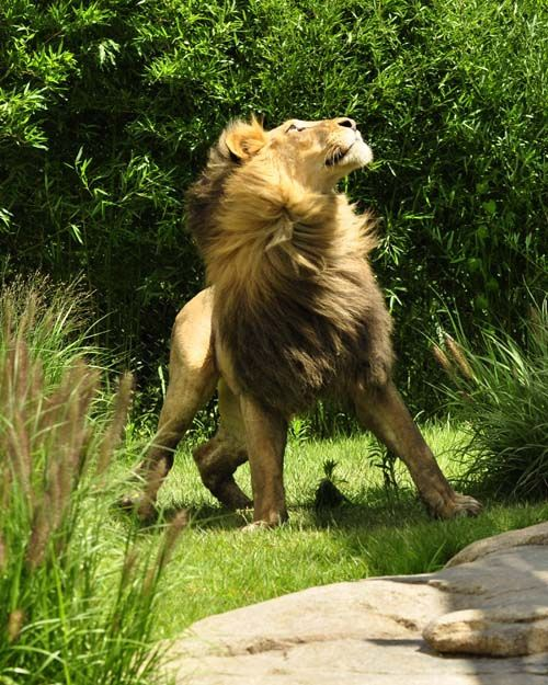 Un fabuloso León.