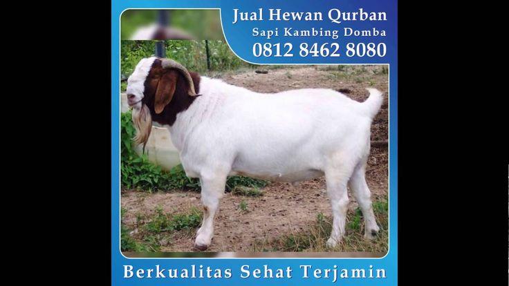 0812 8462 8080 (Tsel), Jual Kambing Qurban di Pamulang CInangka Gandul