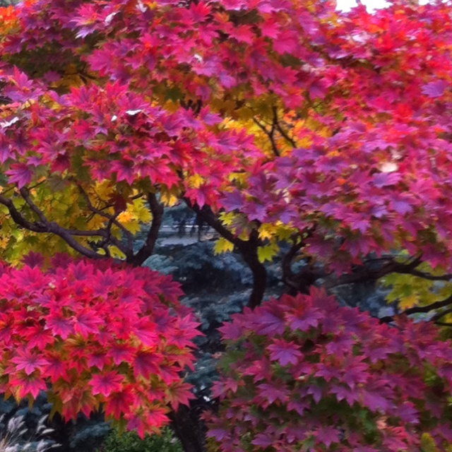Chinese Maple and fall.