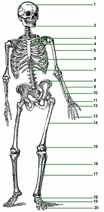 15 best skeletal system images on pinterest, Skeleton