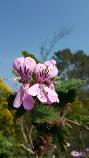 Pelargonium, Jan Marais Park, Stellenbosch, Western Cape, South Africa