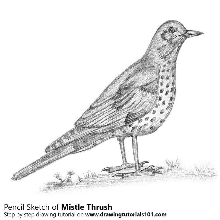 Mistle Thrush with Pencils