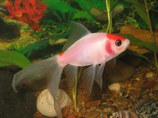 Peluang Usaha Budidaya Ikan Komet. Ikan komet memiliki nama latin Carassius auratus-auratus. Ini merupakan jenis ikan hias yang diminati oleh banyak orang. Ikan komet memiliki bentuk yang hampir serupa dengan ikan koki dikarenakan kedua ikan tersebut berasal dari Cyprinidae familia.