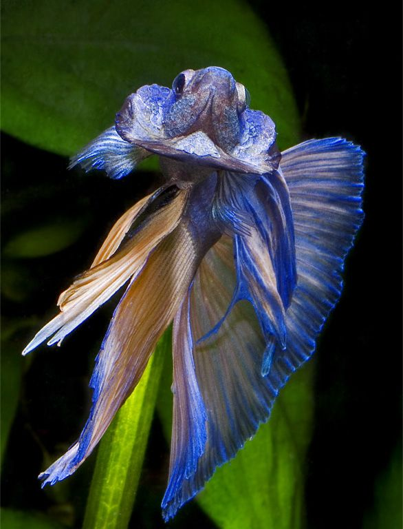104 best images about bettas in honor of betta beta blue for Betta fish personality