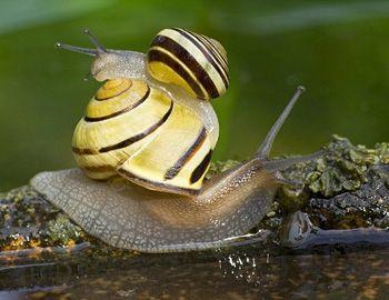 Cute yellow grove snails. http://www.cabbeet.com/blog/2013/05/30/cute-yellow-banded-snails