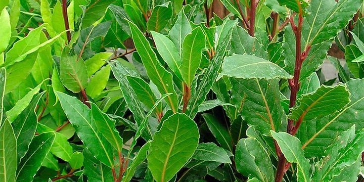 Muito usado na culinária brasileira e que dá um toque especial no nosso feijão. Veja aqui informações dicas sobre como plantar louro.