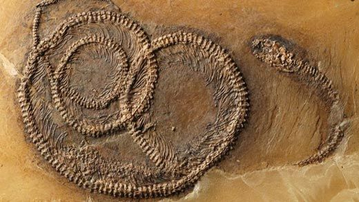 The Messel Tripartite Food Chain fossil.