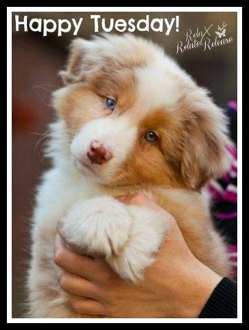 Red Merle Australian Shepherd Puppies