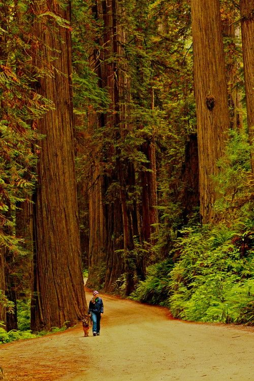 Forest Walk, The Redwoods, California