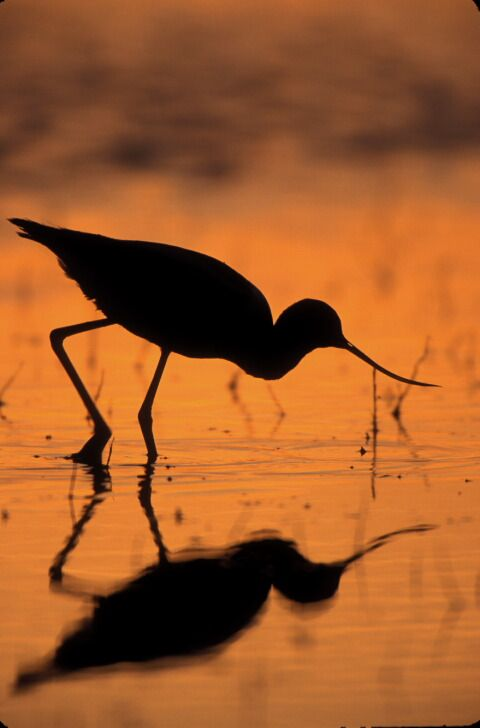 American avocet feeding at sunset with a great silhouette and reflection.
