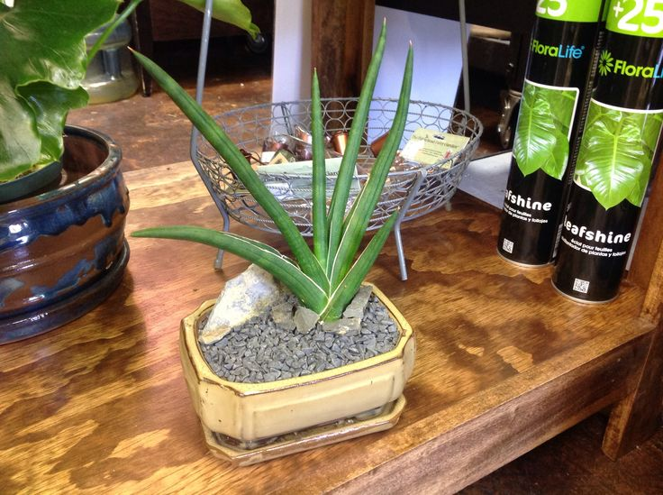 sanseveria or snake plant work well for an indoor succulent look if you have low light and. Black Bedroom Furniture Sets. Home Design Ideas