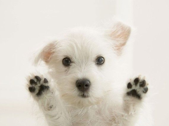 A Westie puppy...love them!!