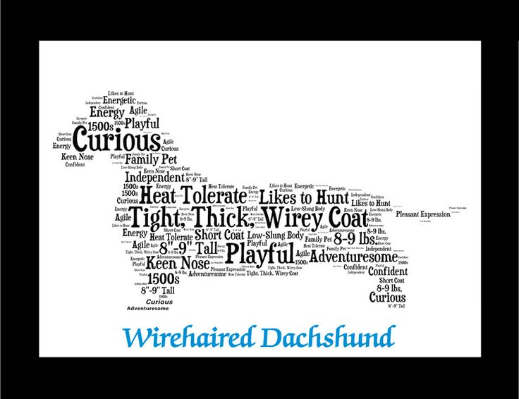 Traits of the Wire Haired Dachshund Short-legged dogs have been known since antiquity, but definitive evidence of the Dachshund breed was only found in the 16th century. At the time, it was referred t
