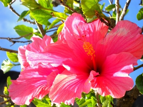 26 best pink tropical flowers images on pinterest tropical flowers hot pink hibiscus mightylinksfo Images