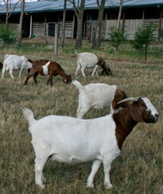 Raising native goats for meat production