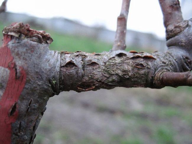 Рак коры – появление ненормальных утолщений, язв, стволы и ветви гниют и трескаются