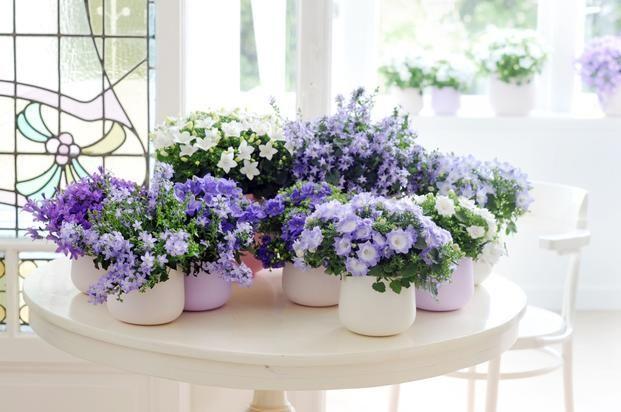 Campanule (dzwonki) to delikatne rośliny doniczkowe o uroczych kwiatach – #Baca…