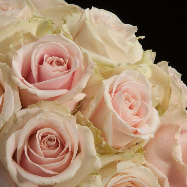 Certi Roos Avelanche Sweet, roze, wit, boeket, bloemen, roze rozen,  rozenboeket, Certi #Bloemen, #Planten, #webshop, #online bestellen, #rozen, #kamerplanten, #tuinplanten, #bloeiende planten, #snijbloemen, #boeketten, #verzorgingsproducten, #orchideeën