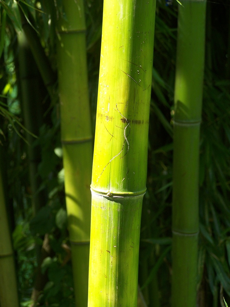 Bamboo at Stanley Park in Vancouver, BC