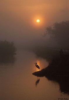 Great Blue Heron Sunrise; Everglades National Park…