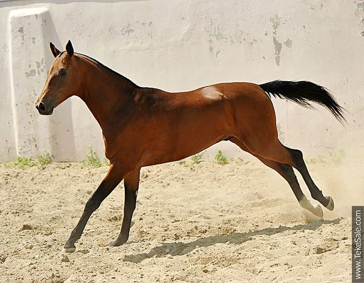 649 best images about akhal-teke on Pinterest