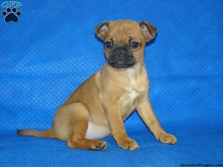 Lilah, Jug puppy for sale from Narvon, PA