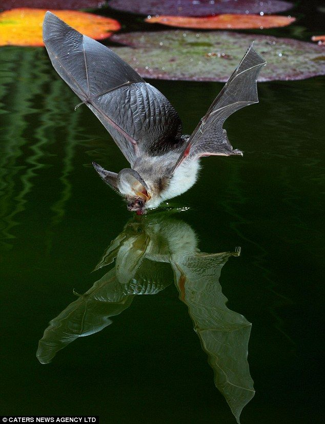 Kim Taylor managed to get shots of Brown Long-eared Bats and Daubeton Bats swooping down to lap up pond water at 20MPH.
