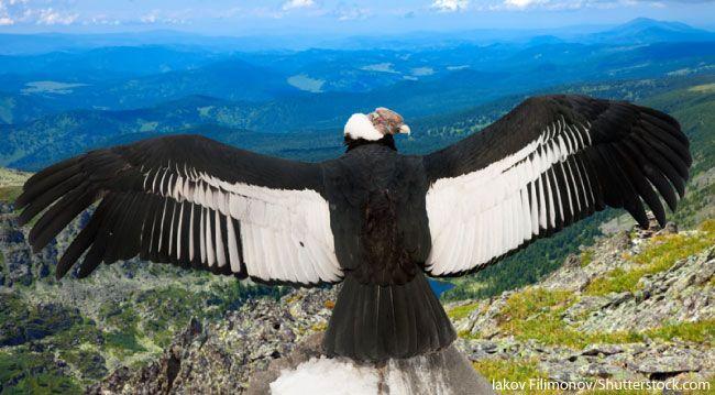 Image Result For Condor Peru Andean Condor Animals Pet Birds