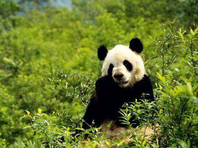 Where Do Pandas Live