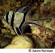Banggai Cardinal fish profile (saltwater)