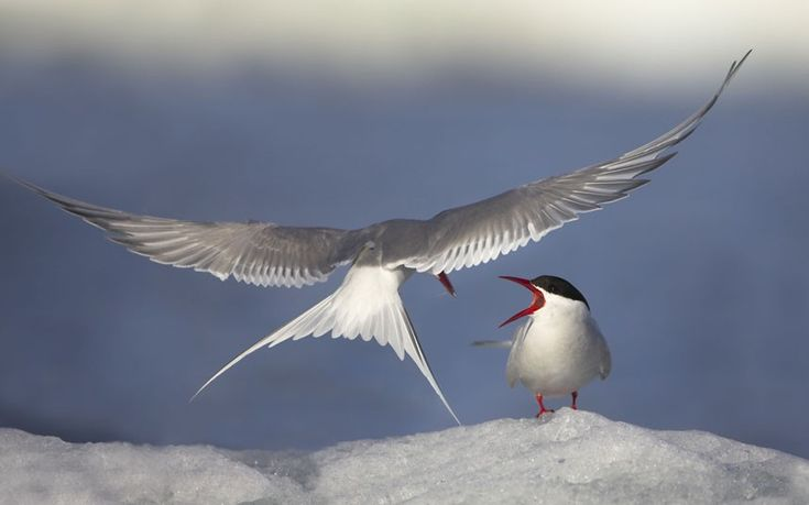 Arctic terns, Svalbard, Norway. Danny Green's Long Journey North: northern Europe's landscapes and wildlife.