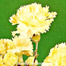 Dianthus caryophyllus, Yellow Carnation