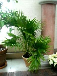 Chinese Fan Palm, Chinese fountain Palm - *not* toxic to cats & dogs