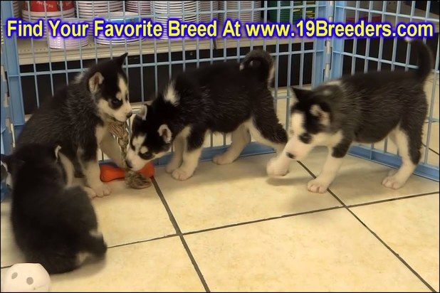Puppies For Adoption Oahu With Images Puppy Adoption Puppies Husky Puppies For Sale