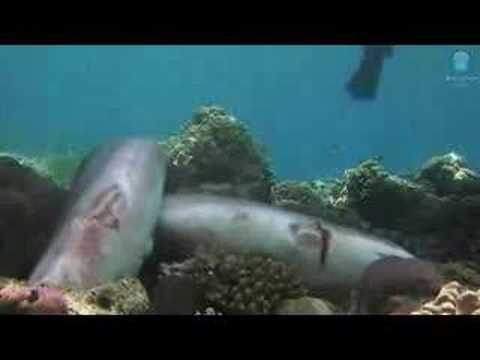 Shark Fin Frontier. La découpe à vif des ailerons de requins interdite par l'Union Européenne.  Ces dernières années la surpêche des ailerons de requins a fortement mis en péril une trentaine d'espèces. L'Union Européenne renforce sa législation pour limiter le commerce des ailerons de requins.