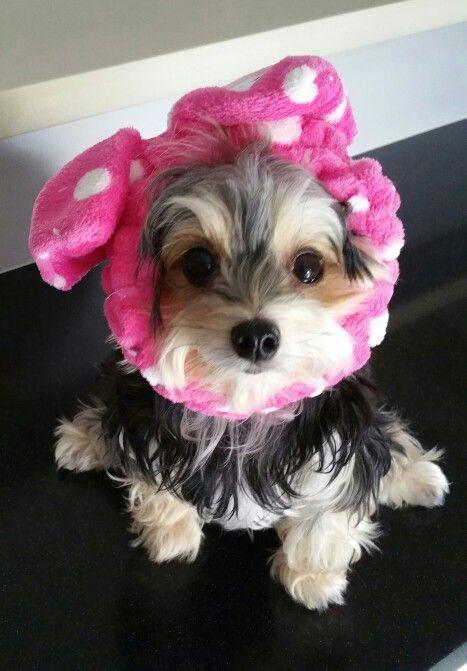 Twinkle...my adorable Morkie
