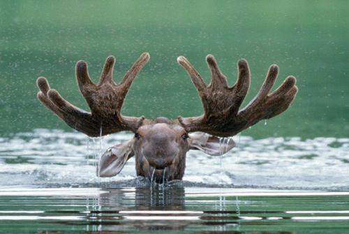 Award Winners Gallery - National Wildlife Federation | Dorothy Keeler, Moose Denali National Park, Alaska