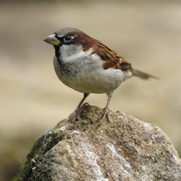 Do you get house #sparrows in your garden? Numbers of house sparrows recorded in the #RSPB Big Garden #Birdwatch have dropped by 63% since 1979. Sparrows need gardens full of insects so you can help by leaving some areas of grass to grow long, or by planting deciduous shrubs where are likely to gather for a good natter!