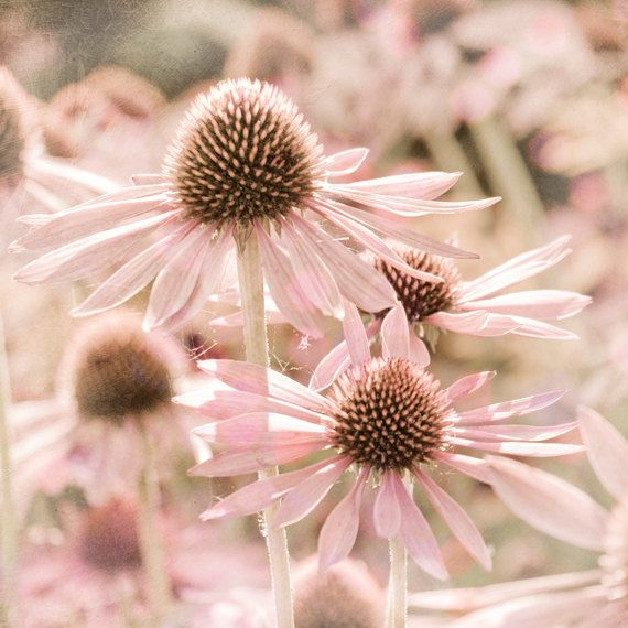 Pastel Pink Summer FlowerPink Summer, Pink Flower, Girls Bedrooms, Pastel Pink, Pale Pink, Art Prints, Pink Brown, Pink Wall, Flower Photographers