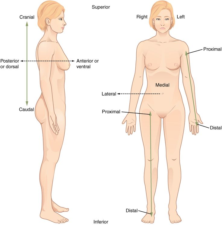 Directional Terms - Anatomical terminology - Wikipedia, the free encyclopedia