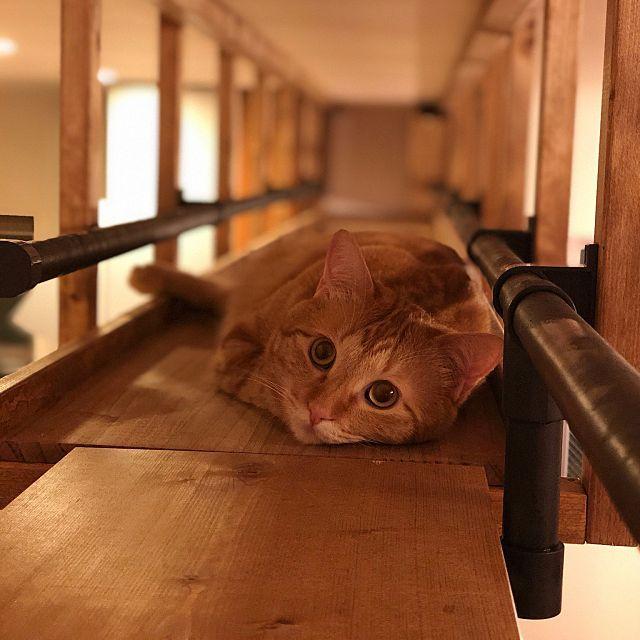 キャットウォークdiy ブラックアンドデッカー 猫のいる暮らし イレクターパイプ アイアンペイント ターナー社 などのインテリア実例 2019 05 19 21 52 39 Roomclip ルームクリップ 猫 ペット用品 キャット ウォーク Diy