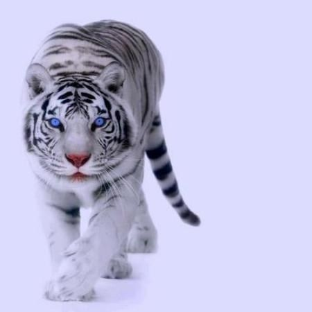 My favorite animal.! The White Tiger(: If someone gets me one, then I would love you forever(: